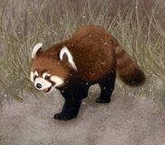 Firefox walking in wildlife. Red panda firefox in wildlife looking for bamboo. It is realy cute animal like a cat Royalty Free Stock Image