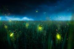 Firegly en un campo de hierba en la noche imágenes de archivo libres de regalías