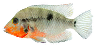 Firemouth Cichild fish. Isolated in white background. ( Herichthys Meeki stock images