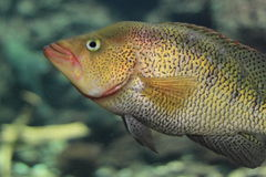 Firemouth cichlid Royalty Free Stock Images