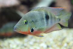 Firemouth cichlid Obraz Royalty Free