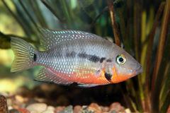 Firemouth cichlid (Thorichthys meeki) Royalty Free Stock Photos