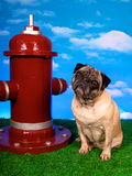 Fireplug Pug Royalty Free Stock Images