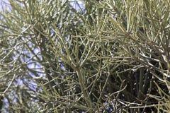 Firestick植物大戟属tirucalli 免版税库存图片