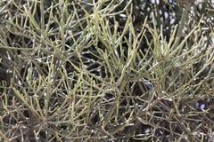 Firestick植物大戟属tirucalli 库存图片