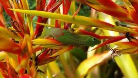 Firestick-Gecko auf der großen Insel Lizenzfreies Stockfoto