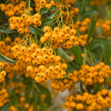 Firethorn Stock Photo