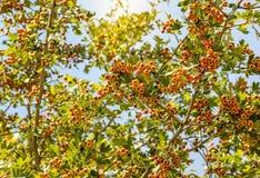 Firethorn-Beeren stockfoto