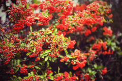 Firethorn berries horizontal Royalty Free Stock Photo