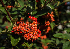 Firethorn Pyracantha Berries Royalty Free Stock Photos