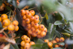 Firethorn (Pyracantha) berries clusters Stock Image