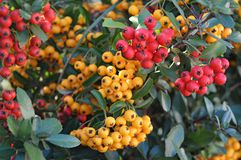 Firethorn or pyracantha fruits Stock Images