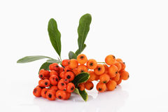 Firethorn, Pyracantha, with orange berries Stock Image