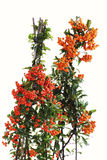 Firethorn, Pyracantha, with orange berries Stock Photography