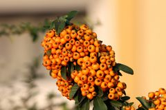 Firethorn or Pyracantha thorny evergreen shrub plant with orange berries in single bunch surrounded with dark green leaves planted. Firethorn or Pyracantha royalty free stock photos