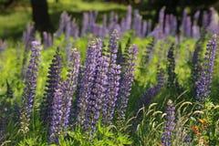 Fireweed και Lupine στη Νέα Αγγλία Στοκ Εικόνα