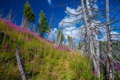 Fireweed στα βουνά του Μαυροβουνίου Στοκ Φωτογραφία