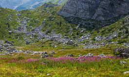 Fireweed στα βουνά του Μαυροβουνίου Στοκ Φωτογραφίες