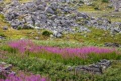 Fireweed στα βουνά του Μαυροβουνίου Στοκ Εικόνες