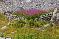 Fireweed στα βουνά του Μαυροβουνίου Στοκ φωτογραφία με δικαίωμα ελεύθερης χρήσης