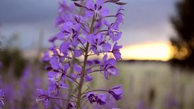 Fireweed στο αεράκι στο ηλιοβασίλεμα απόθεμα βίντεο