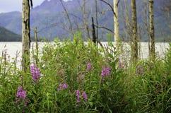 Fireweed Аляска Стоковое Фото