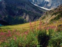 Fireweed вдоль следа ледника Grinnell, национальный парк ледника, Монтана Стоковые Фотографии RF