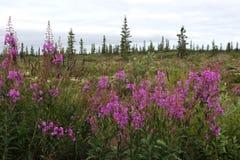 Fireweed в тундре Стоковое Изображение RF