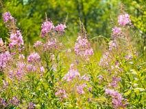 Fireweed или willowherb цветут в луге лета, флористической предпосылке стоковое изображение rf