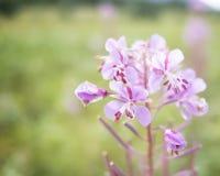 Fireweed улавливает свет утра Стоковая Фотография