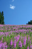 Fireweed. A peaceful field royalty free stock photos