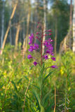 fireweed Obraz Stock