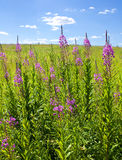 Fireweed Fotos de Stock Royalty Free