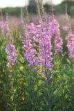 Fireweed Photo stock