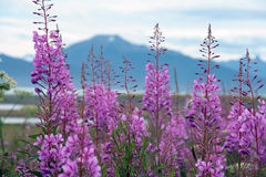 Fireweed. A shot of fireweeds flower, tipycal flowers of Alaska Stock Image