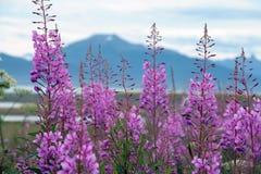 Fireweed Στοκ Εικόνα