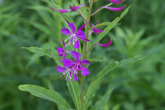 Fireweed photos stock