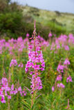 Fireweed Obraz Royalty Free