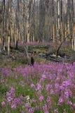 Fireweed stockbilder