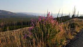Fireweed Стоковое Изображение