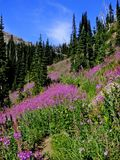 Fireweed Images stock