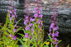 Fireweed against burnt tree Stock Photos