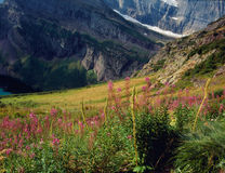 Fireweed along the Grinnell Glacier Trail, Glacier National Park, Montana Royalty Free Stock Photos