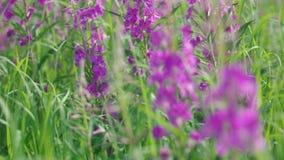 Fireweed alpestre púrpura almacen de metraje de vídeo