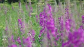 Fireweed alpestre púrpura almacen de video