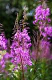 Fireweed alpino viola Immagini Stock