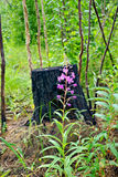 Fireweed amid charred stump Royalty Free Stock Photos