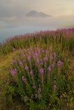 Fireweed (angustifolium chamerion) Στοκ Φωτογραφία