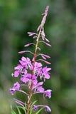 Fireweed (angustifolium del Epilobium) Imágenes de archivo libres de regalías