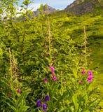 Fireweed-Blüte im Frühjahr, Palmer Alaska stockbilder